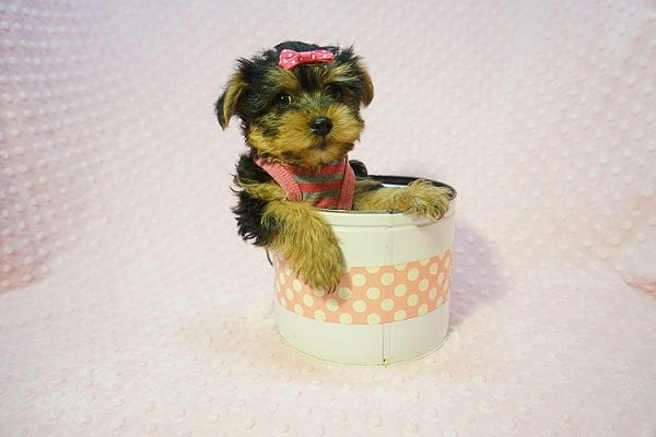 Betsy Johnson - Teacup Yorkie Puppy Found Her Good Loving Home With Teresa And Jim W. In Chula Vista CA, 91910-22241