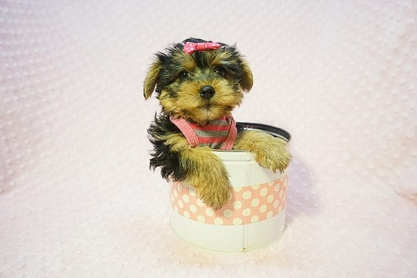 Betsy Johnson - Teacup Yorkie Puppy Found Her Good Loving Home With Teresa And Jim W. In Chula Vista CA, 91910-22242