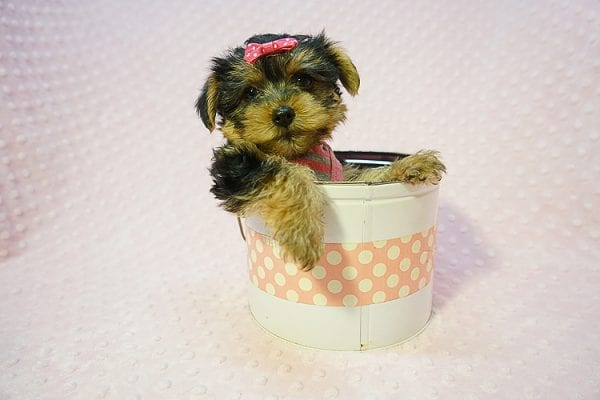 Betsy Johnson - Teacup Yorkie Puppy Found Her Good Loving Home With Teresa And Jim W. In Chula Vista CA, 91910-22243