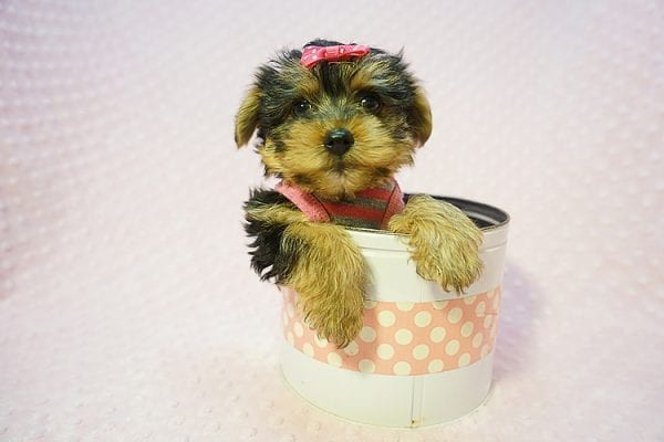 Betsy Johnson - Teacup Yorkie Puppy Found Her Good Loving Home With Teresa And Jim W. In Chula Vista CA, 91910-0