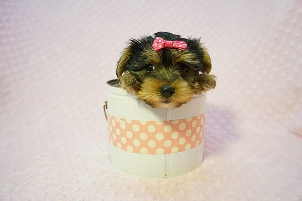 Betsy Johnson - Teacup Yorkie Puppy Found Her Good Loving Home With Teresa And Jim W. In Chula Vista CA, 91910-22245