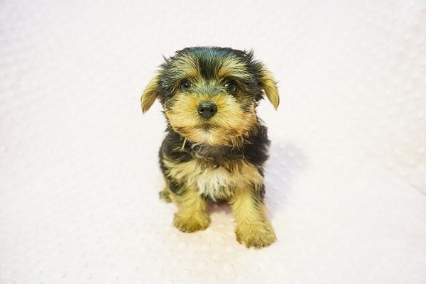 Betsy Johnson - Teacup Yorkie Puppy Found Her Good Loving Home With Teresa And Jim W. In Chula Vista CA, 91910-22239