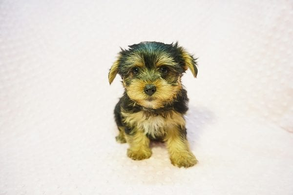 Betsy Johnson - Teacup Yorkie Puppy Found Her Good Loving Home With Teresa And Jim W. In Chula Vista CA, 91910-22240
