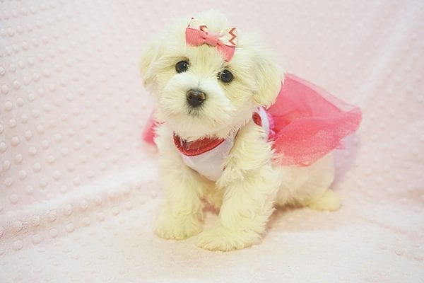 Teacup & Toy Puppies for sale by breeder in 87121 Albuquerque NM-0
