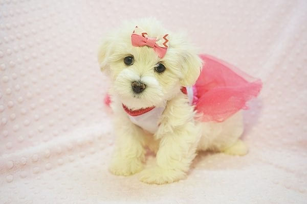 Teacup & Toy Puppies for sale by breeder in 87121 Albuquerque NM-22685