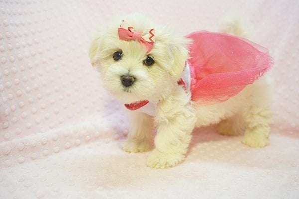 Teacup & Toy Puppies for sale by breeder in 87121 Albuquerque NM-22682