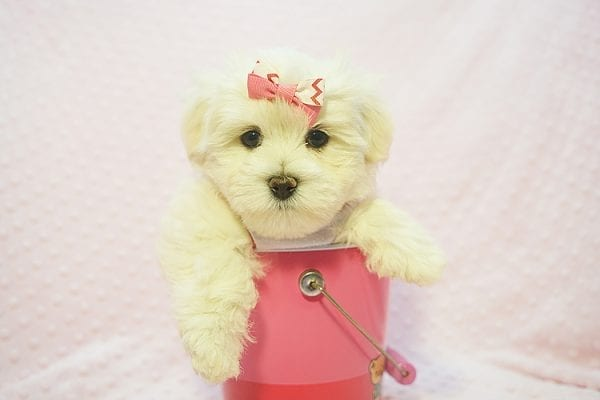 Teacup & Toy Puppies for sale by breeder in 87121 Albuquerque NM-22680