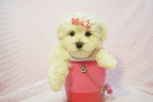 Teacup & Toy Puppies for sale by breeder in 87121 Albuquerque NM-22684
