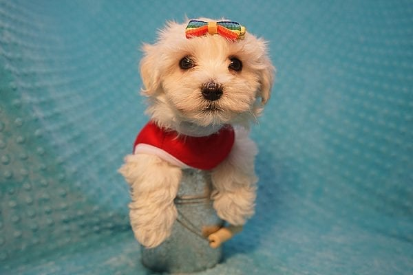 Brad Pitt - Toy Maltipoo Puppy Found His Good Loving Home With Luis H. In Bakersfield CA, 93306-22298