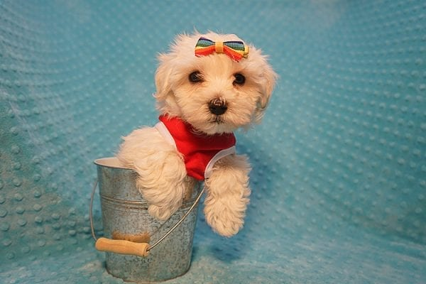 Brad Pitt - Toy Maltipoo Puppy Found His Good Loving Home With Luis H. In Bakersfield CA, 93306-22299