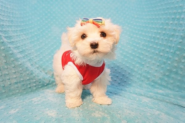 Brad Pitt - Toy Maltipoo Puppy Found His Good Loving Home With Luis H. In Bakersfield CA, 93306-22295