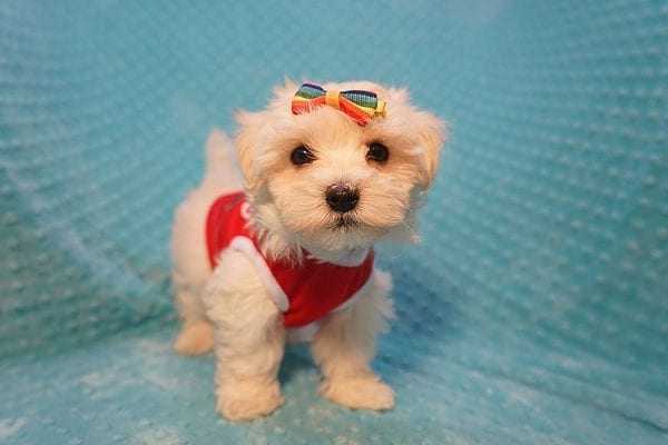 Brad Pitt - Toy Maltipoo Puppy Found His Good Loving Home With Luis H. In Bakersfield CA, 93306-22296
