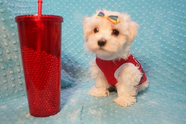 Brad Pitt - Toy Maltipoo Puppy Found His Good Loving Home With Luis H. In Bakersfield CA, 93306-22297