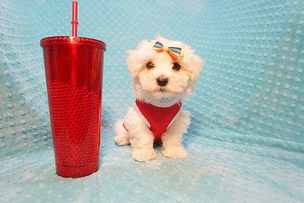Brad Pitt - Toy Maltipoo Puppy Found His Good Loving Home With Luis H. In Bakersfield CA, 93306-0