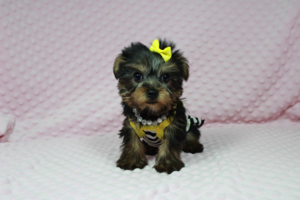 Cadbury - Teacup Yorkie Puppy has found a good loving home with Brandi and Scott from Las Vegas, NV 89131.-22042
