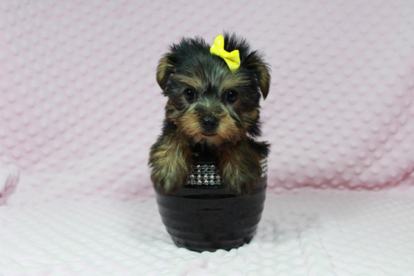 Cadbury - Teacup Yorkie Puppy has found a good loving home with Brandi and Scott from Las Vegas, NV 89131.-22043