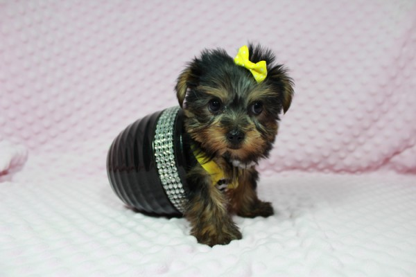 Cadbury - Teacup Yorkie Puppy has found a good loving home with Brandi and Scott from Las Vegas, NV 89131.-0