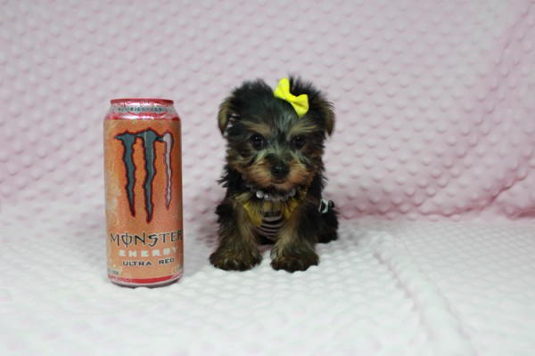 Cadbury - Teacup Yorkie Puppy has found a good loving home with Brandi and Scott from Las Vegas, NV 89131.-22044