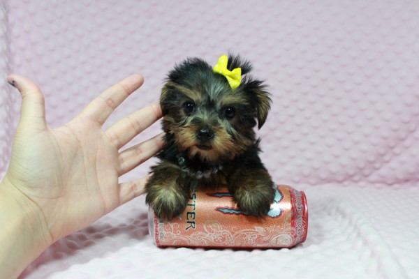 Cadbury - Teacup Yorkie Puppy has found a good loving home with Brandi and Scott from Las Vegas, NV 89131.-22039
