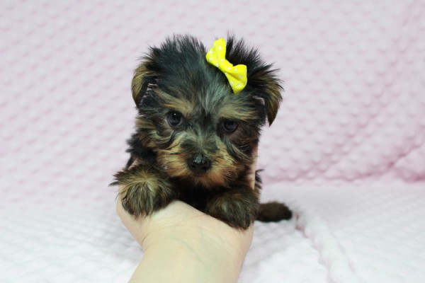 Cadbury - Teacup Yorkie Puppy has found a good loving home with Brandi and Scott from Las Vegas, NV 89131.-22040