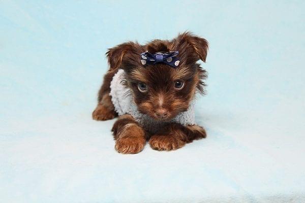 Chocolate Fudge - Tiny Teacup Yorkie Puppy in Los Angeles Las Vegas