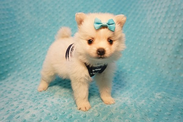 Dior - Teacup Pomeranian Puppy Found His Good Loving Home With Alex P. and Vidrio H. In Los Angeles CA, 90013-22169