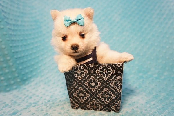 Dior - Teacup Pomeranian Puppy Found His Good Loving Home With Alex P. and Vidrio H. In Los Angeles CA, 90013-22174