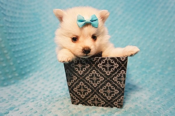 Dior - Teacup Pomeranian Puppy Found His Good Loving Home With Alex P. and Vidrio H. In Los Angeles CA, 90013-22176