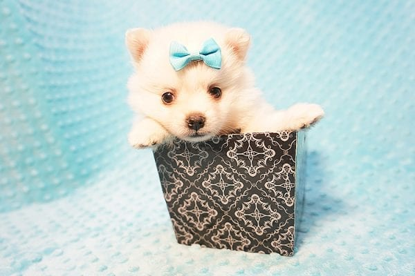 Dior - Teacup Pomeranian Puppy Found His Good Loving Home With Alex P. and Vidrio H. In Los Angeles CA, 90013-22177