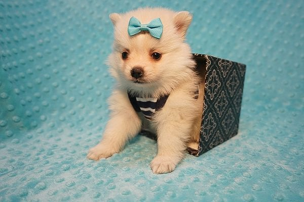 Dior - Teacup Pomeranian Puppy Found His Good Loving Home With Alex P. and Vidrio H. In Los Angeles CA, 90013-22178