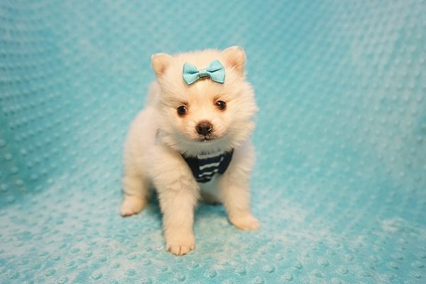 Dior - Teacup Pomeranian Puppy Found His Good Loving Home With Alex P. and Vidrio H. In Los Angeles CA, 90013-22170