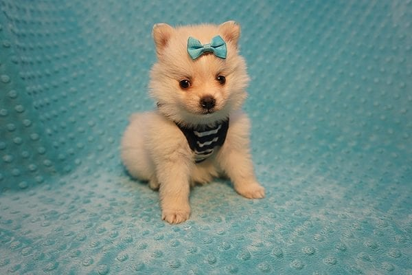 Dior - Teacup Pomeranian Puppy Found His Good Loving Home With Alex P. and Vidrio H. In Los Angeles CA, 90013-22171