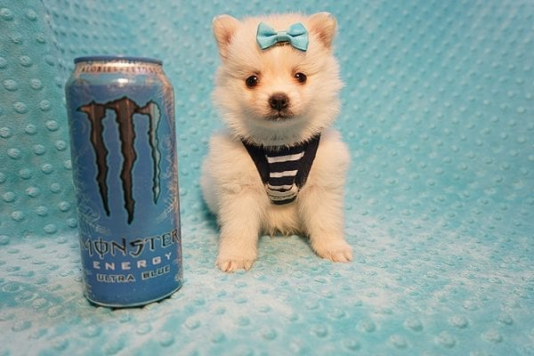 Dior - Teacup Pomeranian Puppy Found His Good Loving Home With Alex P. and Vidrio H. In Los Angeles CA, 90013-0