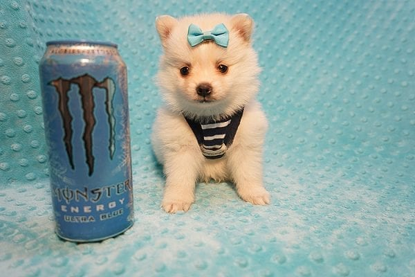 Dior - Teacup Pomeranian Puppy Found His Good Loving Home With Alex P. and Vidrio H. In Los Angeles CA, 90013-22173