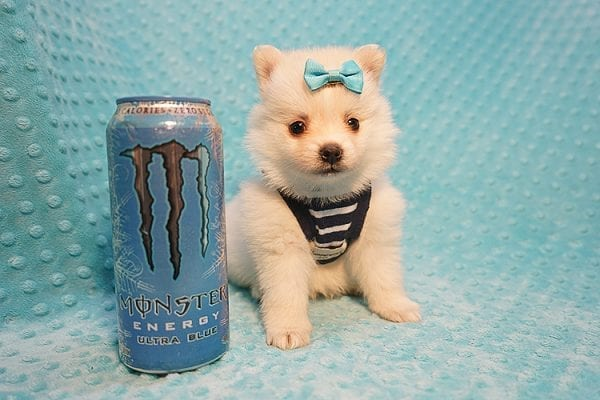 Dior - Teacup Pomeranian Puppy Found His Good Loving Home With Alex P. and Vidrio H. In Los Angeles CA, 90013-22175