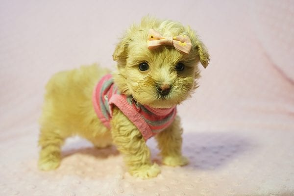 Fanta - Teacup Maltipoo Puppy Found Her Good Loving Home With Lulu J. In Malibu CA, 90265-0