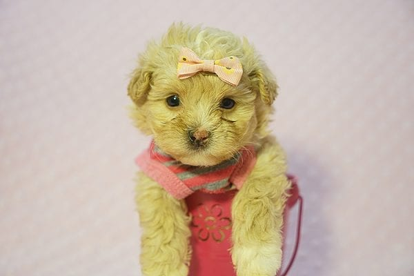 Fanta - Teacup Maltipoo Puppy Found Her Good Loving Home With Lulu J. In Malibu CA, 90265-22279