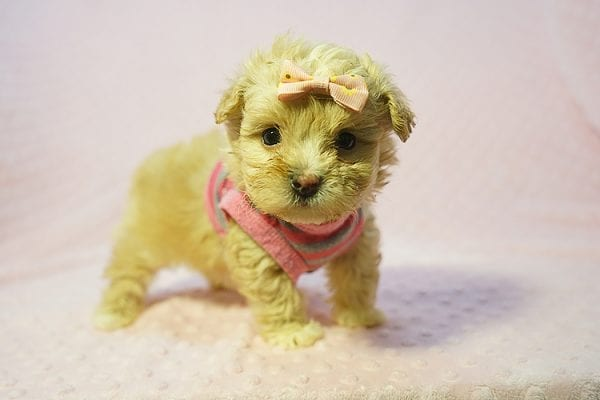 Fanta - Teacup Maltipoo Puppy Found Her Good Loving Home With Lulu J. In Malibu CA, 90265-22278