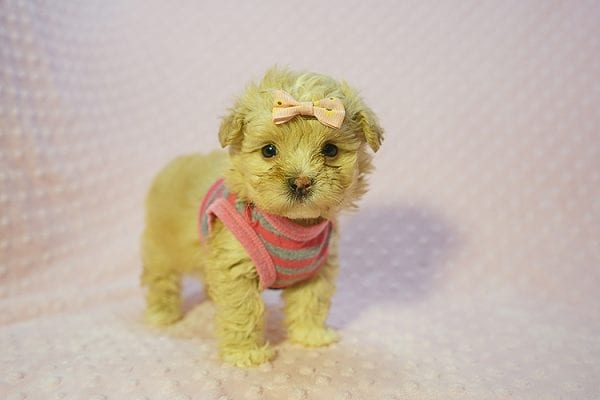 Fanta - Teacup Maltipoo Puppy Found Her Good Loving Home With Lulu J. In Malibu CA, 90265-22275