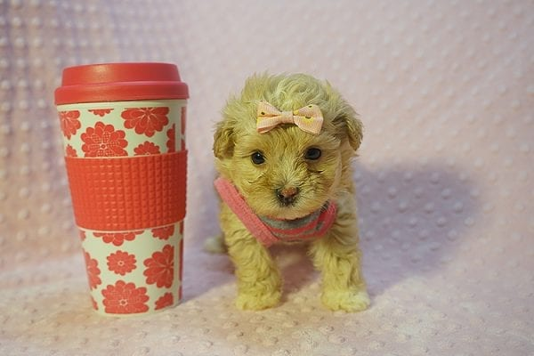Fanta - Teacup Maltipoo Puppy Found Her Good Loving Home With Lulu J. In Malibu CA, 90265-22276