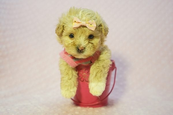 Fanta - Teacup Maltipoo Puppy Found Her Good Loving Home With Lulu J. In Malibu CA, 90265-22280