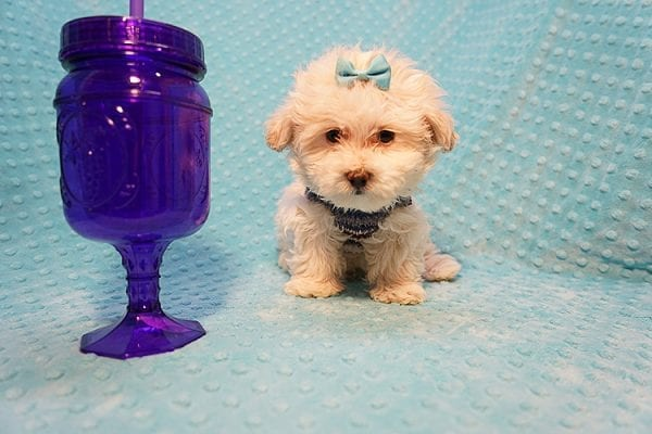 Gary Oldman - Teacup Maltipoo Puppy Found His Good Loving Home With Cristina L. In Camarillo CA, 93012-21988
