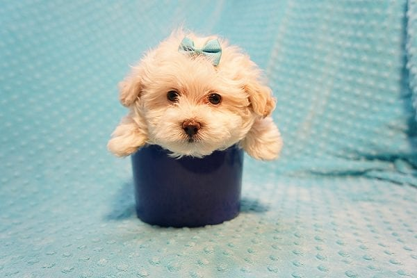 Gary Oldman - Teacup Maltipoo Puppy Found His Good Loving Home With Cristina L. In Camarillo CA, 93012-22055