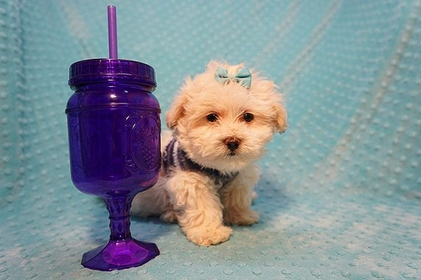 Gary Oldman - Teacup Maltipoo Puppy Found His Good Loving Home With Cristina L. In Camarillo CA, 93012-0