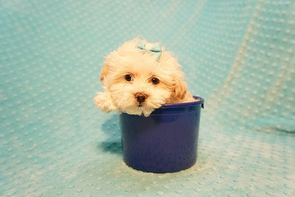 Gary Oldman - Teacup Maltipoo Puppy Found His Good Loving Home With Cristina L. In Camarillo CA, 93012-22054