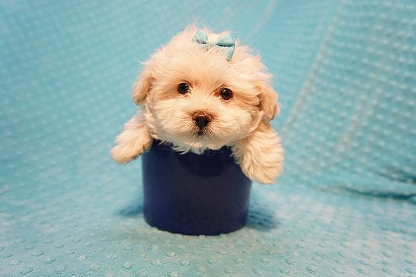 Gary Oldman - Teacup Maltipoo Puppy Found His Good Loving Home With Cristina L. In Camarillo CA, 93012-22053