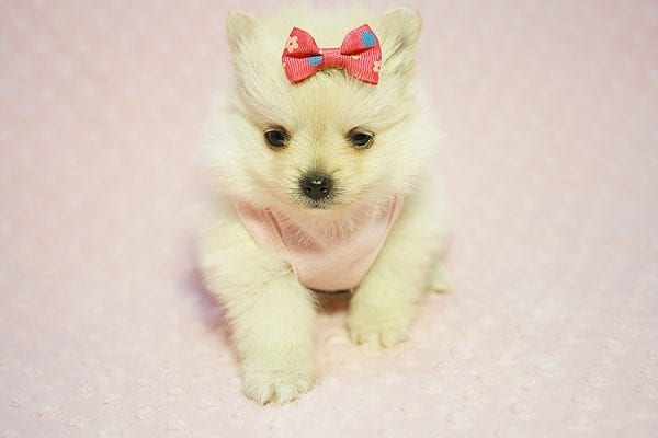 Gucci - Teacup Pomeranian Puppy Found her New Loving Home with Hor from Irvine CA 92604-22182