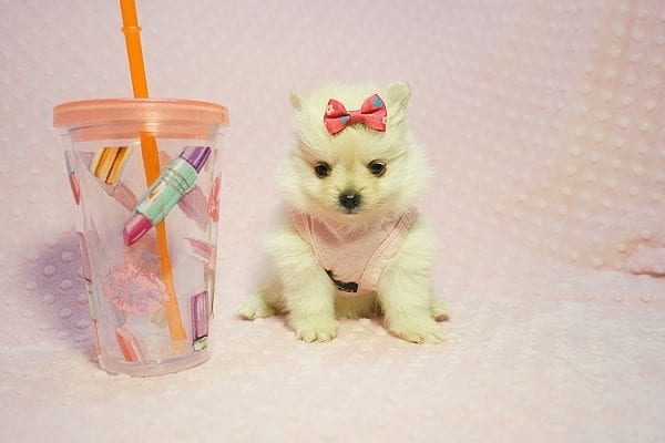 Gucci - Teacup Pomeranian Puppy Found her New Loving Home with Hor from Irvine CA 92604-0