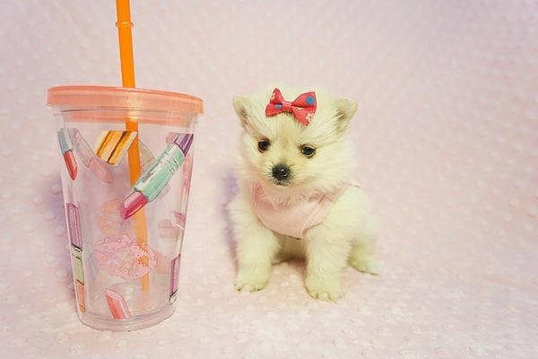 Gucci - Teacup Pomeranian Puppy Found her New Loving Home with Hor from Irvine CA 92604-22187