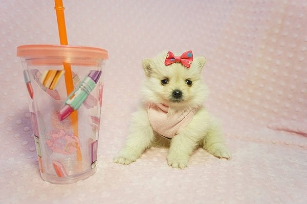 Gucci - Teacup Pomeranian Puppy Found her New Loving Home with Hor from Irvine CA 92604-22186